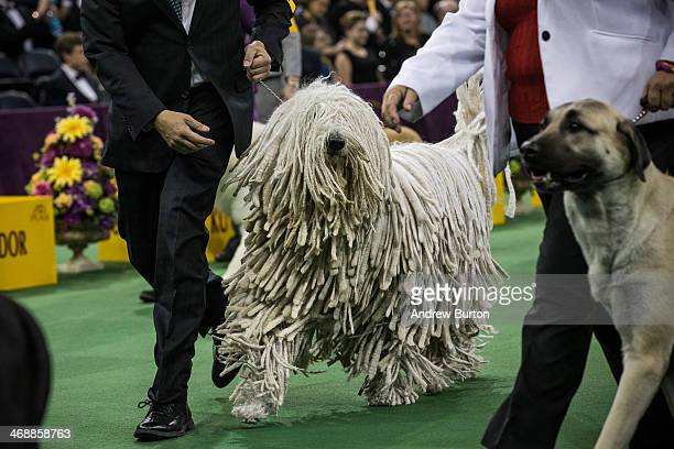 Komondor competes for Best of Group in the Working Group division of the Westminster Dog Show on February 11 2014 in New York City The annual dog...