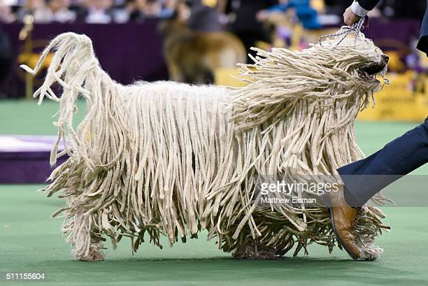 A Komondor competes in the Working Group during the second day of competition at the 140th Annual Westminster Kennel Club Dog Show at Madison Square...