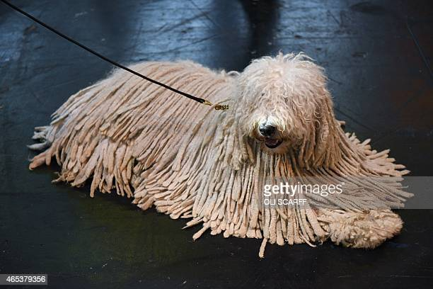 Komondor dog is pictured on the second day of the Crufts dog show at the National Exhibition Centre in Birmingham, central England, on March 6, 2015....