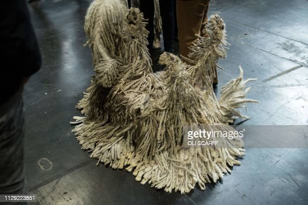 A Komondor dog rolls onto its back before being judged in a show ring on the second day of the Crufts dog show at the National Exhibition Centre in...
