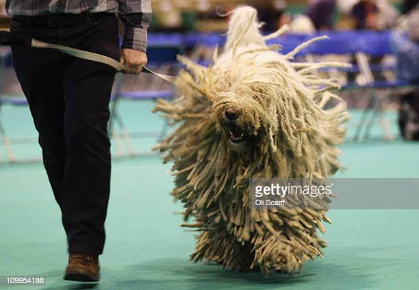 Komondor dog shakes as it is judged on the second day of the annual Crufts dog show at the National Exhibition Centre on March 11 2011 in Birmingham...