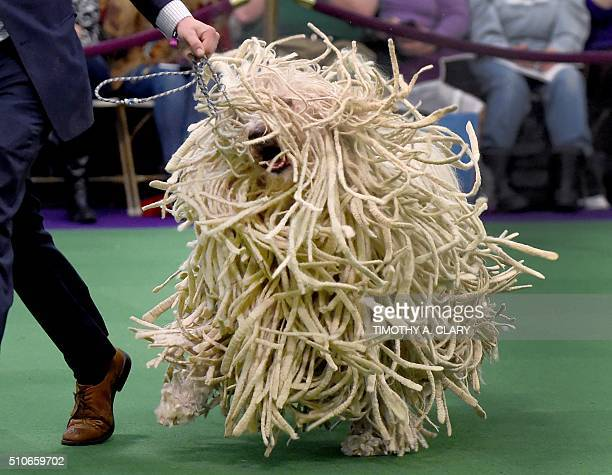 A Komondor is seen in the judging ring February 16 2016 in New York during Day Two of competition at the Westminster Kennel Club 140th Annual Dog...
