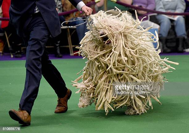 Komondor is seen in the judging ring February 16 2016 in New York during Day Two of competition at the Westminster Kennel Club 140th Annual Dog Show...