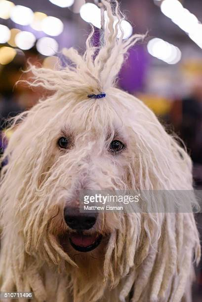 Komondor waits in the grooming area during day two of competiton at the Westminster Kennel Club 140th Annual Dog Show at Pier 92/94 on February 16...