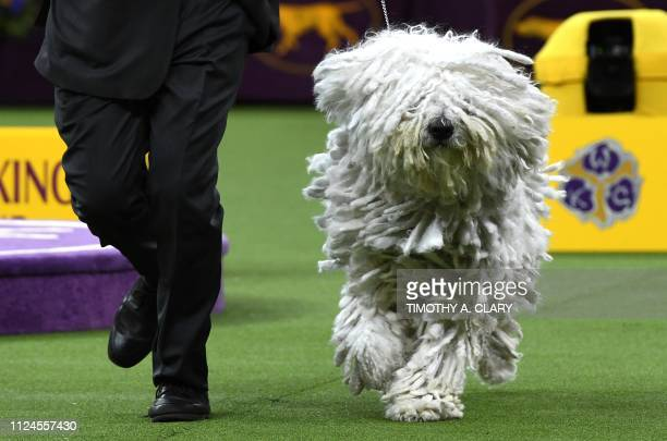 A Komondorok runs with their handler in the Working Group judging before the Best in Show at the Westminster Kennel Club 143rd Annual Dog Show in...