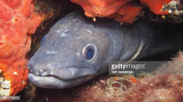 Komur Limani Conger Fish
