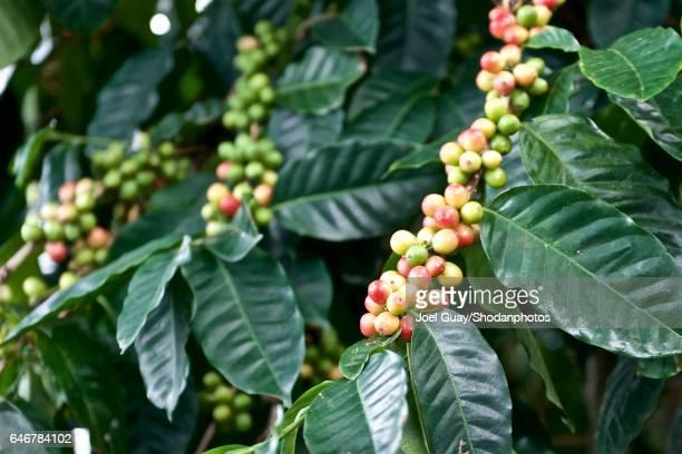 kona coffee beans - kona coast stock photos and pictures