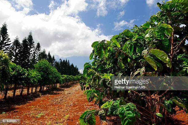 Kona Coffee Field