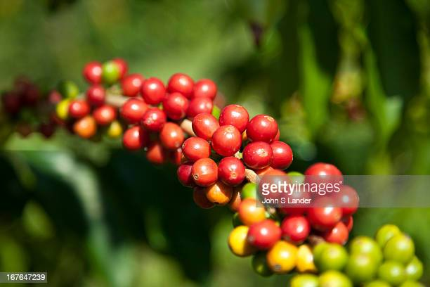 Kona coffee is the market name for coffee cultivated on the slopes of Hualalai and Mauna Loa in the North and South Kona Districts of the Big Island...