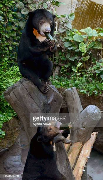 Konan Japan A Malayan sun bear mother and cub eat 'Ehomaki' rolls specially cooked in hope of their growth at Noichi Zoological Park in Konan Kochi...
