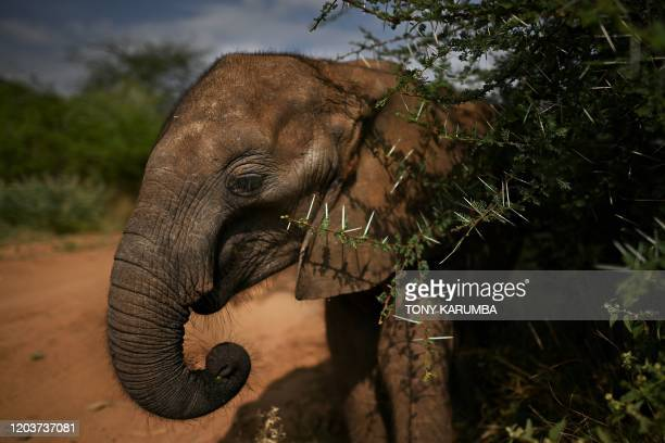 Kone one of the younger elephant orphans aged one yearandahalf learns to feed by herself in a surrounding thicket during a walk with keepers at...