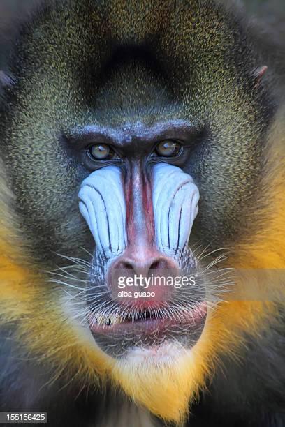 Kong retrato mandril
