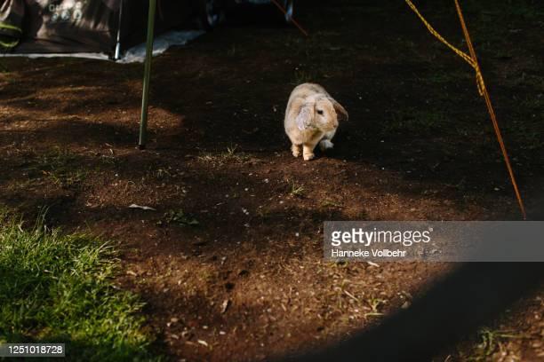 konijn voor de tent - kamperen stock pictures, royalty-free photos & images