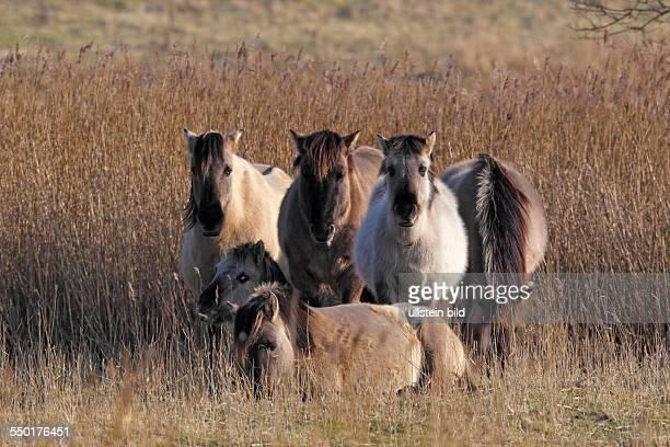konik horses SchleswigHolstein Germany