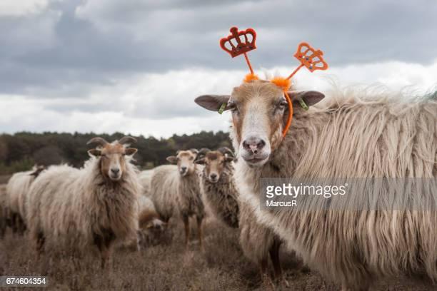 koningin van de kudde - buiten de steden gelegen gebied stock pictures, royalty-free photos & images