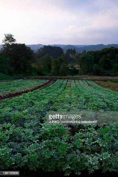konjac (konnyaku) farm, gunma prefecture, japan - konjac stock pictures, royalty-free photos & images