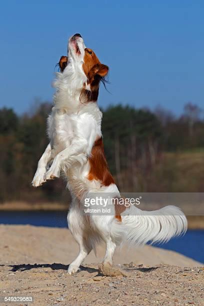 Kooikerhondje jumping Kooiker Hound young male dog domestic dog