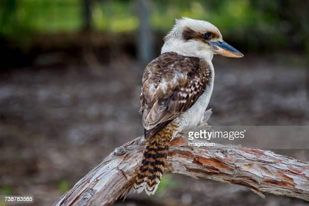 Kookaburra bird, Australia