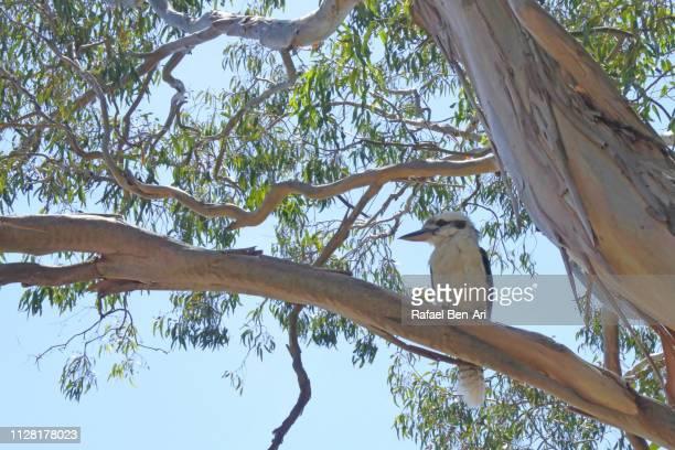 kookaburra bird in australia - rafael ben ari stock-fotos und bilder