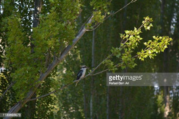 Kookaburra Bird sitting on a tree