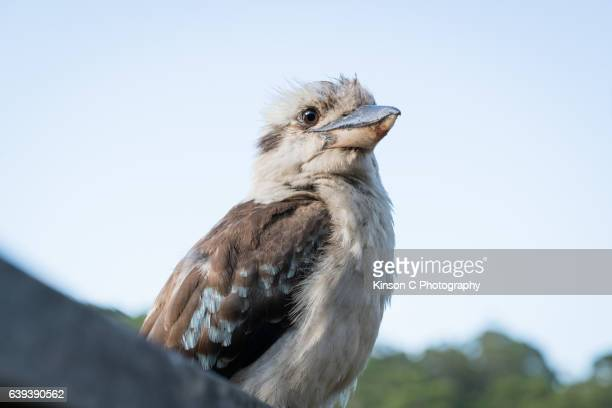 Kookaburra In the Wild