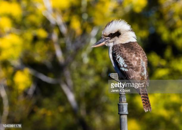 kookaburra on sprinkler head - janet scott stock pictures, royalty-free photos & images
