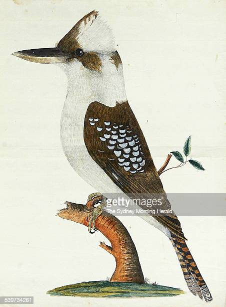 A Kookaburra painted by First Fleet artist and midshipman on the Sirius George Raper who painted birds and plants while the ship was under repair at...