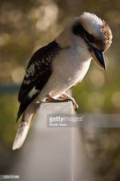 Kookaburra perched