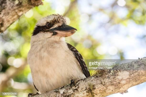 Kookaburra Sits On a Tree, Looks Left