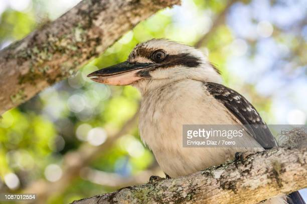 Kookaburra Sits On a Tree, Looks Right
