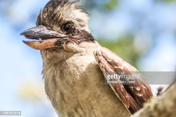 Kookaburra Sits On a Tree