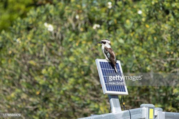 kookaburra sitting on a solar panel - solar equipment stock pictures, royalty-free photos & images