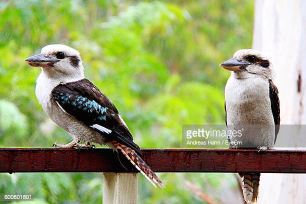Kookaburras On Railing