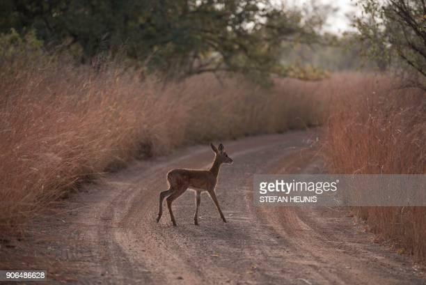 A kop antelope calf crosses the road in the morning sun at Pendjari National Park near Tanguieta on January 11 2018 Pendjari National Park is one of...