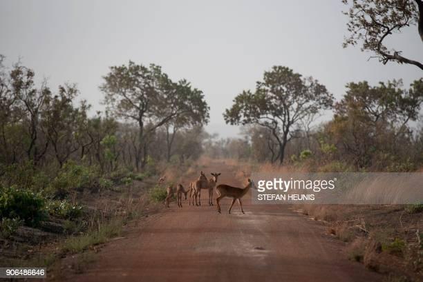 A kop antilope and western hartebeest calfs cross a road at Pendjari National Park near Tanguieta on January 11 2018 Pendjari National Park is one of...