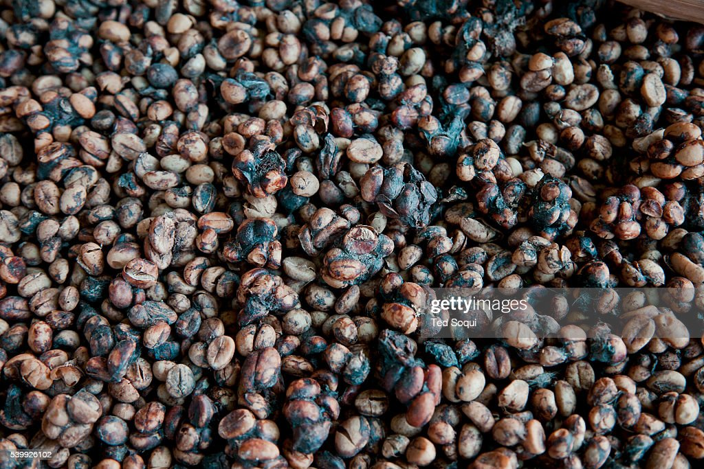 Kopi Luwak Beans That Have Been Separated Form The Civet Poop Are To Picture Id