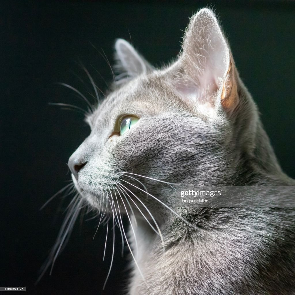 Korat cat portrait : Photo