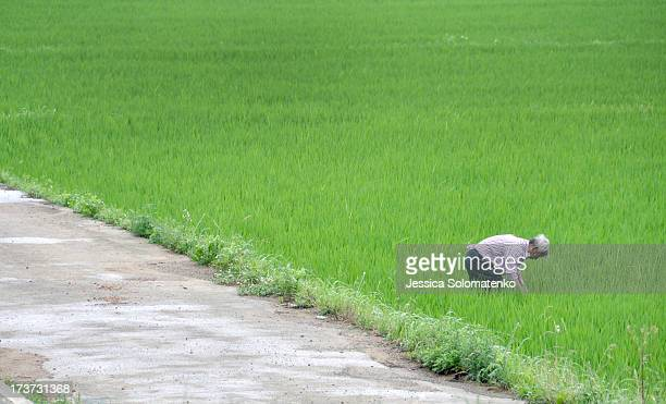 CONTENT] Korean farmer working in the rice field near Hwasun South Korea
