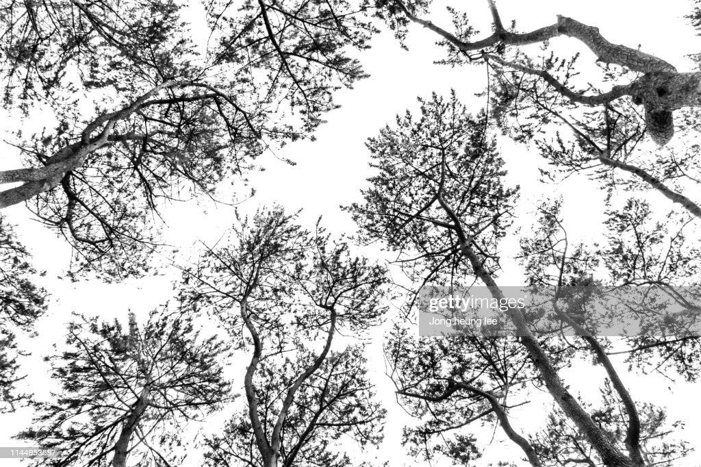 Korean pine tree : Stock Photo