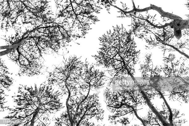 korean pine tree - jong heung lee stock pictures, royalty-free photos & images