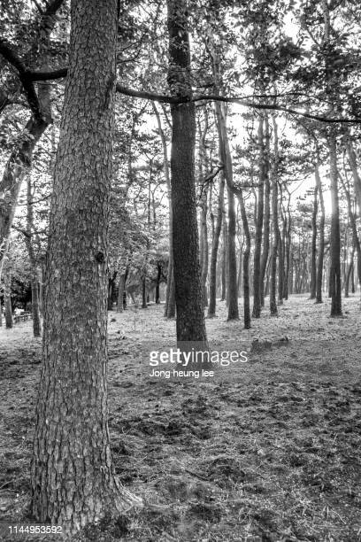 Korean pine tree