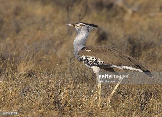 Kori bustard Ardeotis kori previously known as Otis kori Alongside the great bustard the kori bustard is the heaviest flying bird Samburu Game...