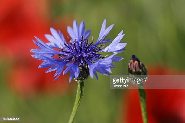 Kornblume Blüte vor Klatschmohn