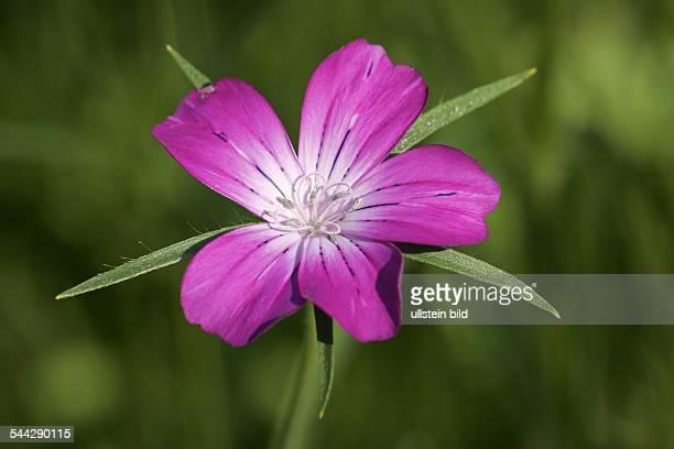 Kornrade Blüte