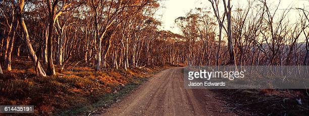 A dirt road passes through a Snow Gum woodland turning shades of pastel at sunset.