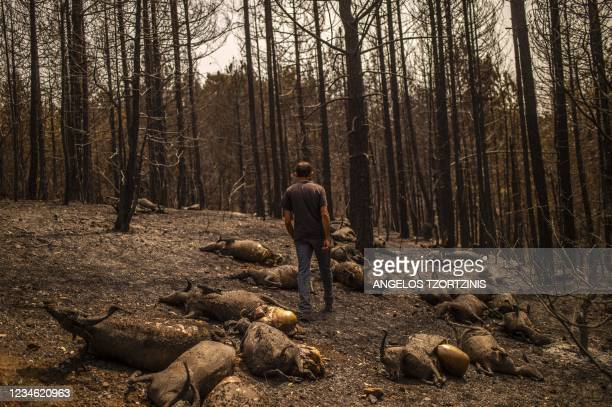 Kostis Angelou shepherd who lost a herd of 372 animals, walks among his dead goats in a forest following a wildfire near Kerasia Village on Evia...