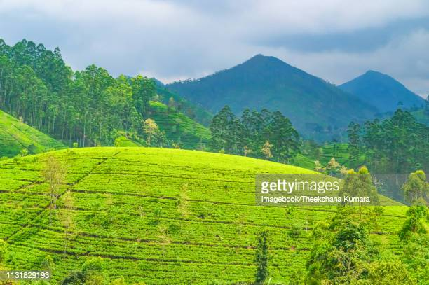 kotagala tea estate - imagebook stock pictures, royalty-free photos & images