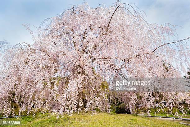 Koto Sakura (weeping cherry)