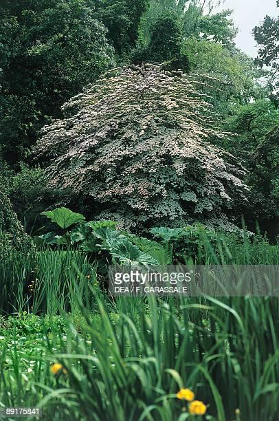 Kousa Dogwood trees in a garden Arboretum Kalmthout Kalmthout Belgium