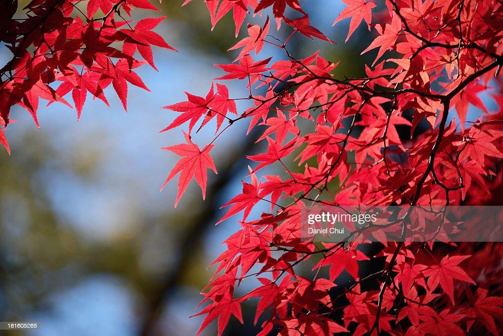 Koyo leaves in Kyoto, Japan : Stock Photo